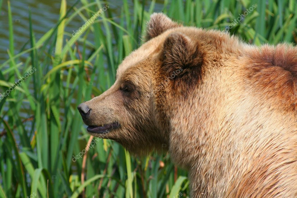 Brown bear on a green background  Stock Photo #6848573