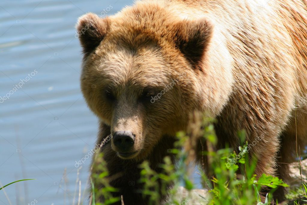 Brown bear against the river — Stock Photo #6848584