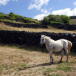 White horse on pasture — Stock Photo