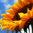 Sonnenblume — Stock Photo #7060258