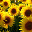 Sonnenblume — Stock Photo #7061002