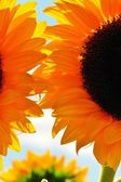 Sonnenblume — Stock Photo