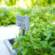Cultivation of a sweet basil garden - Stock Photo