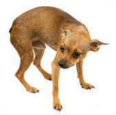 Dog mini - Russian toy terrier — Stock Photo