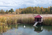Lodge swans — Stock Photo