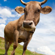 Royalty-Free Stock Photo: Fun cow