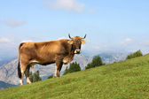 Cow grazing in Asturias — Stock Photo