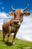 Fun cow — Photo