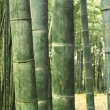 Bamboo forest background — Stock Photo #7641808