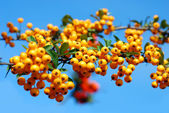 Branch of of yellow firethorn berries — Stock Photo