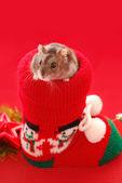 Hamster for christmas — Stock Photo