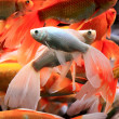 Fishes in aquarium — Stock Photo #6855067
