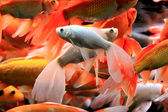 Fishes in aquarium — Stock Photo