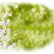 Branch with white flowers — Stock Photo