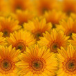 Stockfoto: Yellow flowers
