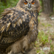 Stock Photo: Owl in chump