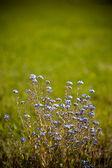 Beautiful little blue flowers — Stock Photo