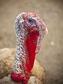 Turkey head — Stock Photo