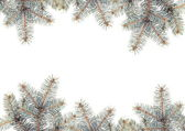 Silver Pine branches — Stock Photo