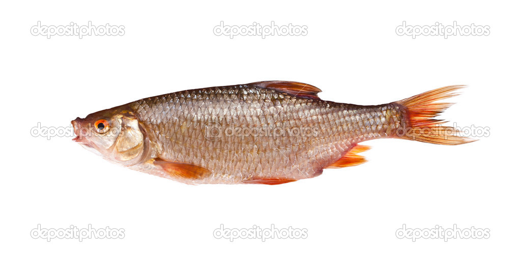 Roach (rutilus rutilus), isolated on white background — Stock Photo #6870974