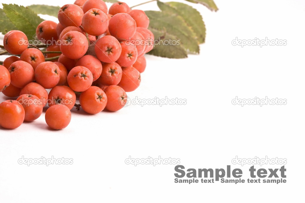 Bunch of rowan isolated on white  — Stock Photo #6873201