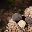 Black truffles — Stock Photo #7515146