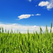 Wheat field — Stock Photo #7509063