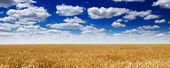 Wheat field — Photo