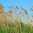 Bulrush - Stock Photo