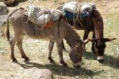 Osli v etiopii — Stock fotografie