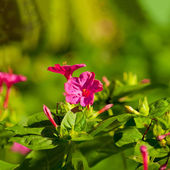 A beautiful flowerbed with pink flowers — Stock Photo