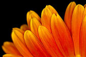 Macro Orange Gerbera Flower Head — Stock Photo