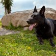 Stock Photo: Black GermShepherd