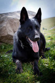 Black German Shepherd — Stock Photo