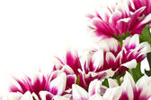 Red chrysanthemums — Stock Photo