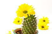 Cactus and flowers — Stock Photo