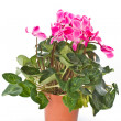 Stock Photo: Cyclamen plant