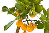 Tangerine tree — Stock Photo