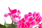 Cyclamen plant — Stock Photo