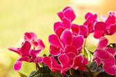 Cyclamen plant — Stock Photo