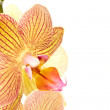Phalaenopsis — Stock Photo #7175376
