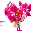 Phalaenopsis flower — Stock Photo