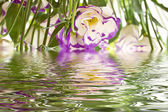 Lisianthus flowers — Stock Photo