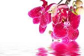 Phalaenopsis květ — Stock fotografie