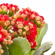 Kalanchoe — Stock Photo