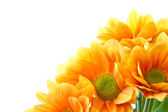 Orange flowers Chrysanthemum — Stock Photo