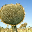 Ripe sunflower - Stock Photo