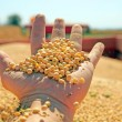 Stock Photo: Soya harvesting