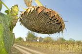 Ripe sunflower seeds — Stock Photo