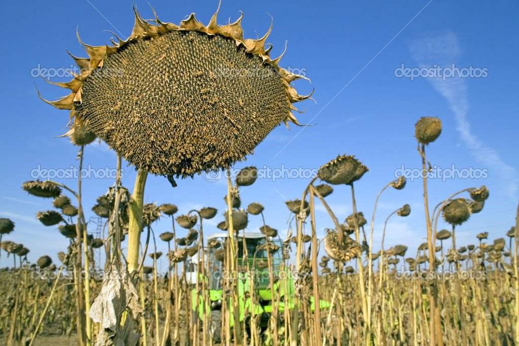 Harvesting of sunflower seeds at field in Europe — Stock Photo #7188100